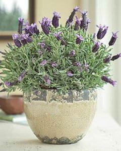 lavender-plant-Vastu