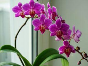 Orchid-Flowers-Vastu-Plant