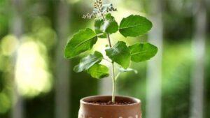 Tulsi-Vastu-Plant